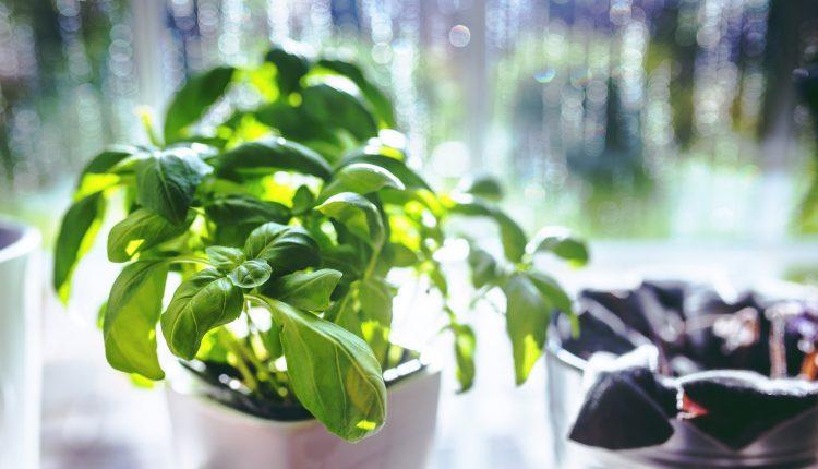 Cum să ai propria ta grădină de mirodenii în apartament
