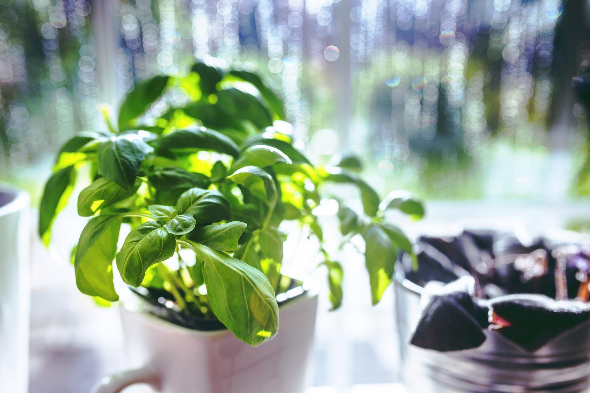 Grădină de mirodenii în apartament - busuioc în ghiveci
